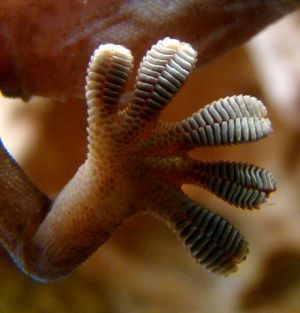 Close-up of the underside of a gecko's foot as it walks on a glass wall. Van der Waals force interactions between the finely divided setae (hairs on the toes) and the glass enables the gecko to stay in place and walk on the seemingly smooth glass. (Wikipedia)
